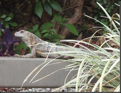 Estas lagartichas são grandes que se fartam!