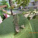 Baron Butterfly Caterpillar