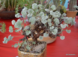 Photo: Pelargonium mirabilis, side