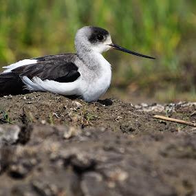 Black-winged stilt by Palash Panda - Animals Birds
