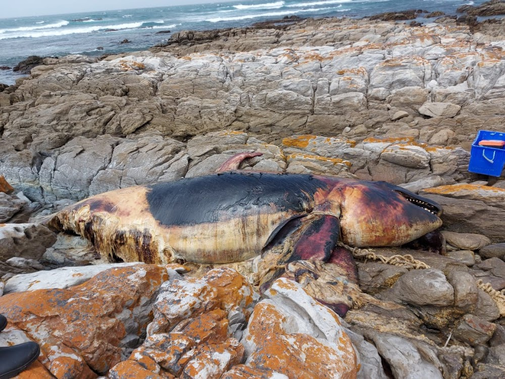 Entangled ocean giant washes up on PE coast - TimesLIVE