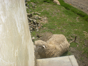Photo: this sheep was hanging out outside our door making t