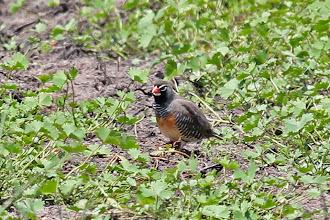 Photo: African Quailfinch
