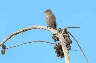 Photo: Juvenile Starling
