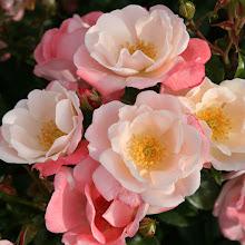 Photo: Roseromantic ® - Züchter: W. Kordes' Söhne 2014 - creme, lachsrosa überhaucht
