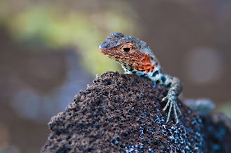 Photo: Lava lizard; Bartolome