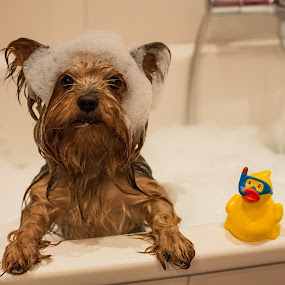 ... by Ruslan Stepanov - Animals - Dogs Portraits ( water, animals, yorkshire, toys, dog )
