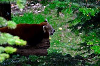 Photo: Rdeča Panda...tako nekako se mi zdi, da je pisalo. Živalca je bila zelo luštna, zato sem naredil celo serijo posnetkov. In zelo dolgo čakal, da sem jo sploh lahko ujel.