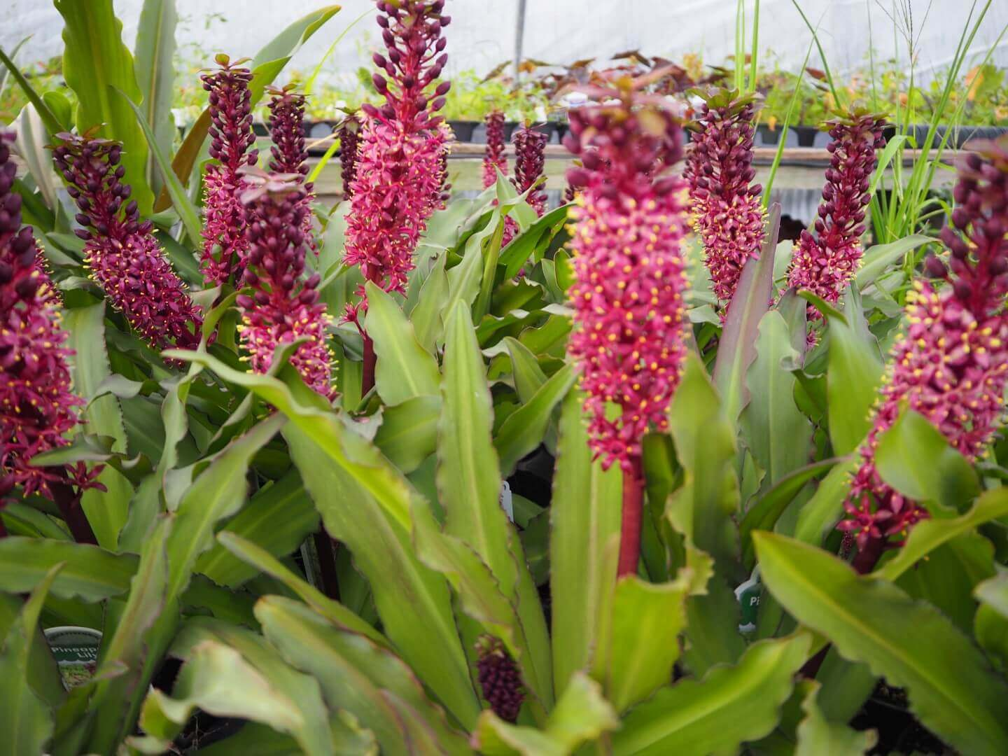 Pineapple Lily; Breathtaking Flowers That Start With P