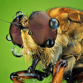 adidas asilidae by Shikhei Goh II - Animals Insects & Spiders