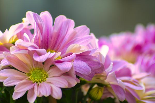 soft pink! di fabio742008