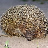 Hedgehog Jigsaw Puzzles