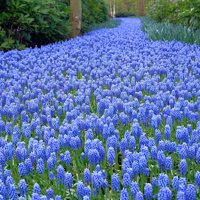 the blue river by Fred Goldstein - Flowers Flower Gardens ( muscari, blue, holland, flowers, garden, river,  )