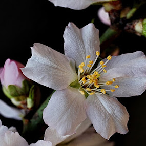 Flor de Almendro - Almond Blossom by Antonio Navarro - Flowers Tree Blossoms