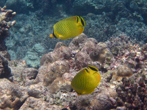 Photo: a pair of lattice butterflyfish