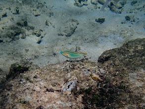 Photo: Stethojulis trilineata (Four-line Wrasse), Miniloc Island Resort Reef, Palawan, Philippines.