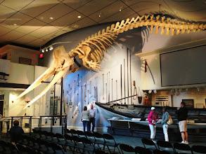 Photo: Hienon valaanpyyntimuseon valaan luuranko - 1998 Nantucketin rannalle ajautui kaskelotti, joka kuoli ja jonka luuranko sitten päätyi tähän museoon