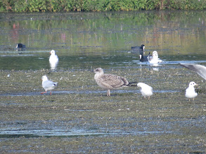 Photo: 26 Aug 13 Priorslee Lake A juvenile Lesser Black-backed Gull on the weed. the very dark greater coverts help separate this from a juvenile Herring Gull that would also show a somewhat less dark on the face. (Ed Wilson)