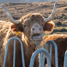 Scottish Cow Eating by Luke Albright - Animals Other Mammals ( hay, face, livestock, animal, cow, eating, horns )