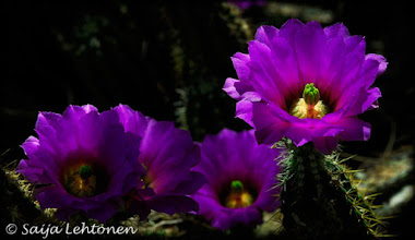 Photo: All the best for the weekend!! Spent a fun morning shooting & now starting to sort through the shots ;)  Saija Lehtonen Photography  #CactusFlowers #FloralFriday #Cactus #Nature #Photography #Southwest