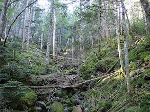 ダケカンバの苔むした林床