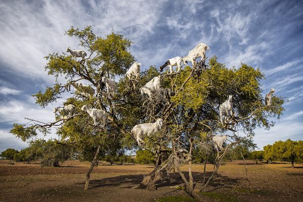 L'albero dell'Argan di Madison