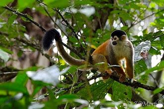Photo: Squirrel Monkey @ Rio Sierpe, Osa Peninsula