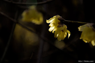 Photo: 例年通り、12月中版の蝋梅の開花から始まった。(蝋梅、2014,01,05)
