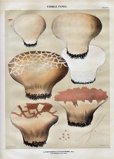 Calvatia cyathiformis