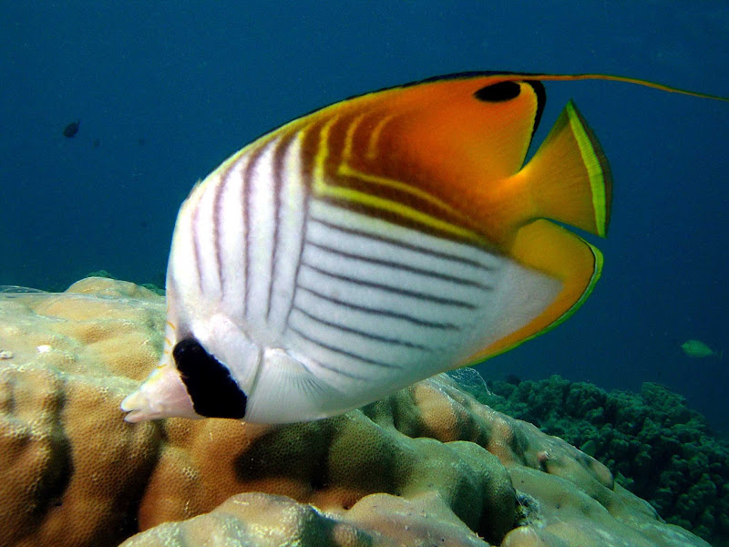 Join the threadfin butterflyfish on a dive in Tahiti.