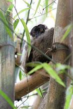 Photo: Lémur brun