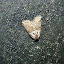 Bryophila moth