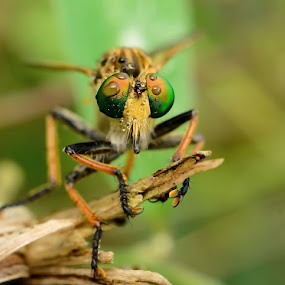 robberfly  by Ardhy Muhammad - Animals Insects & Spiders ( insect, robber )
