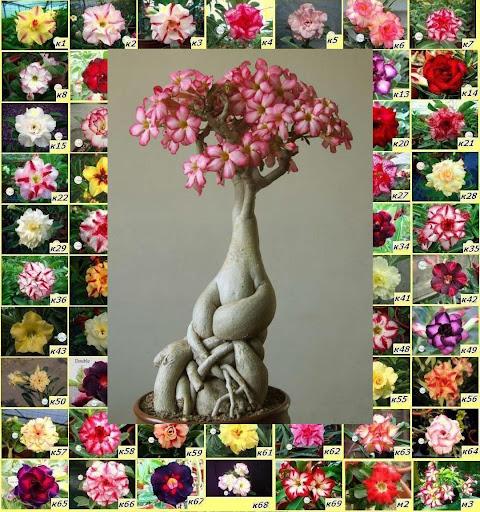 Адениум семена цветы почтой