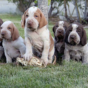 Bracco Italiano by Ralph MInnitte - Animals - Dogs Portraits