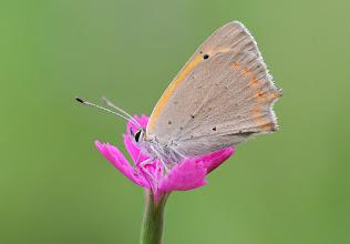 Photo: Cuivré commun, Lycaena phlaeas, Small Copper  http://lepidoptera-butterflies.blogspot.com/