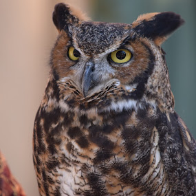Owl 4 by Keith Heinly - Animals Birds ( kingdom, owl, disney, eyes, animal )