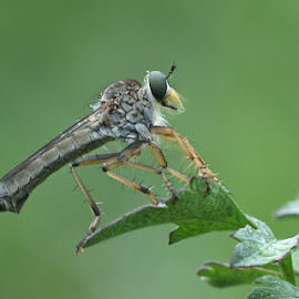 Robber by David Knox-Whitehead - Animals Insects & Spiders ( green eyes, robber, robber fly, insects, blurred background )