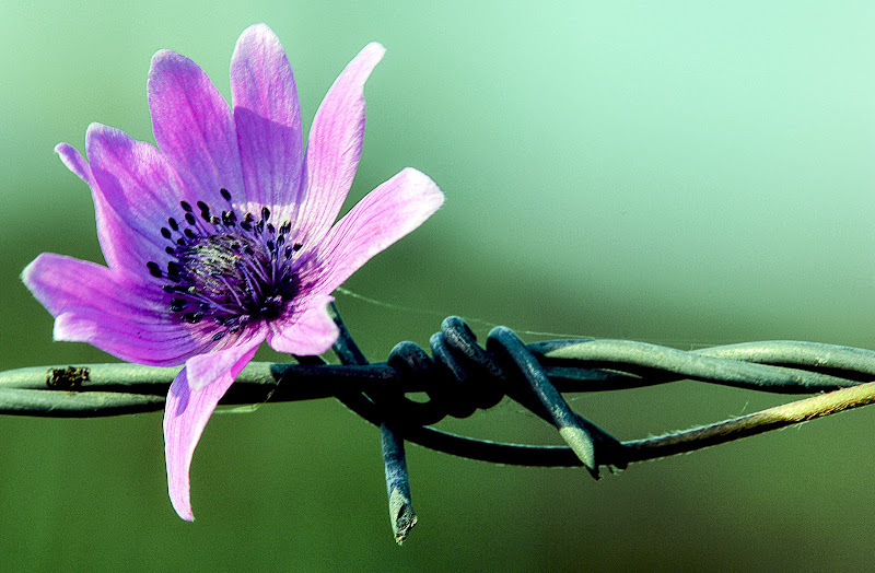 Fiorellino Prigioniero di Yuma