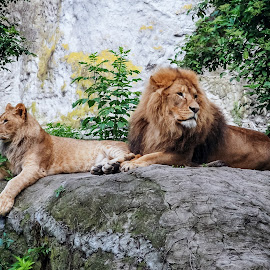 Lions by Paweł Mielko - Animals Lions, Tigers & Big Cats ( big, couple, lions, nature, animal, couples, animals, big cats, lion )