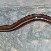Hammerhead worm