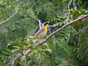 Photo: Male Common Yellowthroat