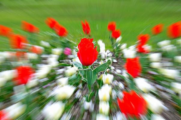 tulipani  di flori