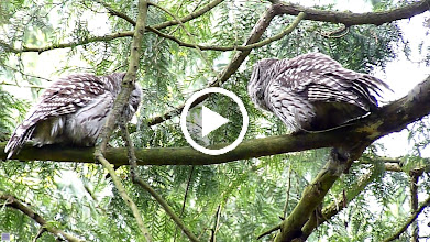 Video: Barred Owl Mating calls.