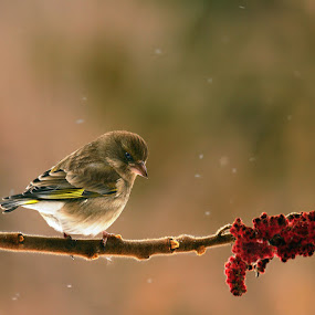 The look by Doina Russu - Animals Birds ( greenfinch, bird, winter, female, carduelis chloris )