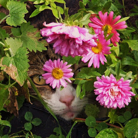 Peek-a-boo by Donna Wood - Animals - Cats Portraits ( cats, whiskers, flowers, garden, eyes, pwc84, , colorful, mood factory, vibrant, happiness, January, moods, emotions, inspiration )