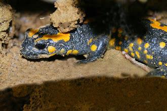 Photo: Feuersalamander (Salamandra salamandra)  Feuersalamander beim Überqueren von lockerem Oberboden,  die feuchte Haut nimmt dabei die körnigen Bodenbestandteile auf.