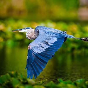 Great-Blue-Heron-Flight-W707.jpg
