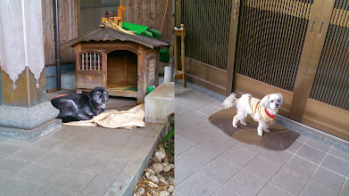 Photo: Nun's favourite dogs at the temple where my father sleeps. Black one is Ange-chan, and white one is Sally-chan. 14th January updated - http://jp.asksiddhi.in/daily_detail.php?id=423