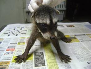 Photo: Baby male Raccoon survivor of poisoning 2012-08-32
